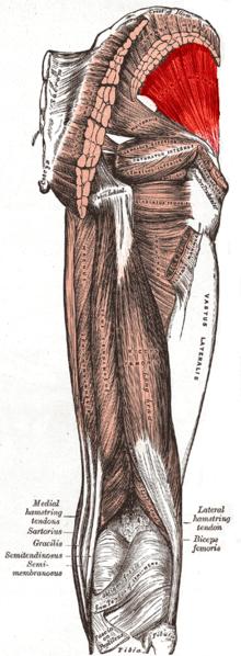 il gluteo piccolo, il muscolo della sciatica   punti-trigger
