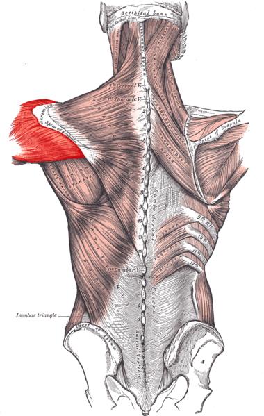 Cuffia dei Rotatori 4: Sottoscapolare. Deltoidi e Strategia generale per i problemi della spalla