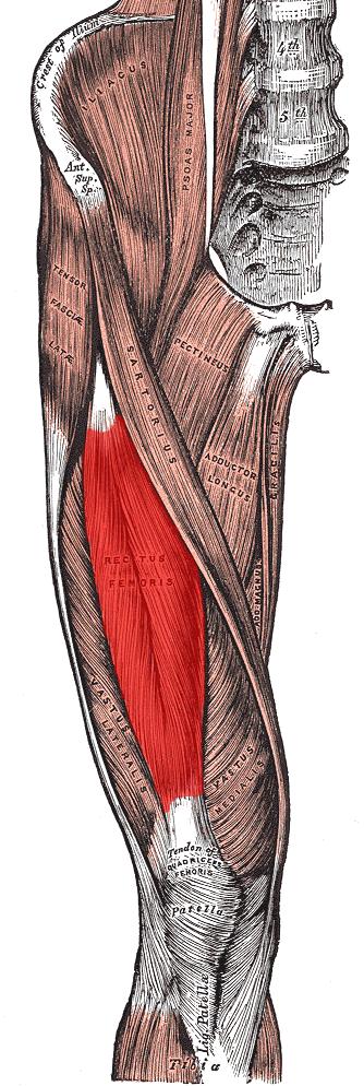 Il Quadricipite  Retto Femorale  Vasto Mediale  Vasto Intermedio    Quadriceps Femoris