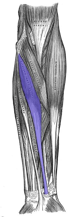 Flessore Radiale Carpo